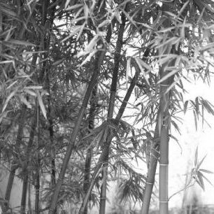 輸入壁紙 カスタム壁紙 PHOTOWALL / Beautiful Bamboo - b/w (e10062)