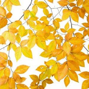輸入壁紙 カスタム壁紙 PHOTOWALL / Yellow Leaves on White Background (e10101)
