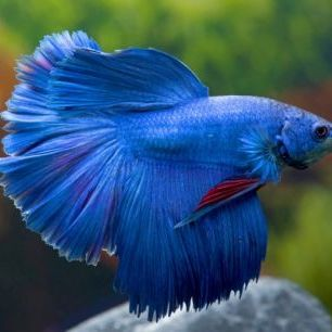 輸入壁紙 カスタム壁紙 PHOTOWALL / Siamese Fighting Fish (e23244)
