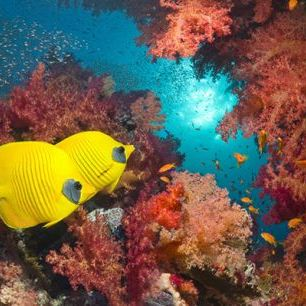 輸入壁紙 カスタム壁紙 PHOTOWALL / Butterfly Fish and Red Corals (e23892)
