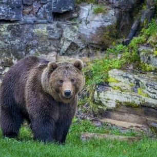 輸入壁紙 カスタム壁紙 PHOTOWALL / European Brown Bear, Pyrenees Mountains (e31103)