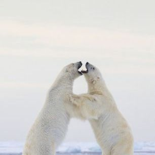 輸入壁紙 カスタム壁紙 PHOTOWALL / Polar Bears Fighting on Ice, Svalbard (e31120)