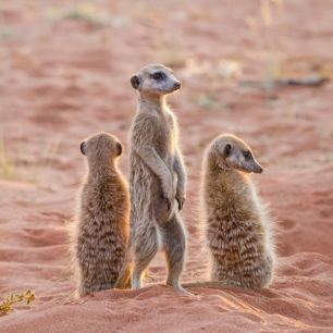 輸入壁紙 カスタム壁紙 PHOTOWALL / Three Meerkats on Den, Kalahari Desert (e31138)