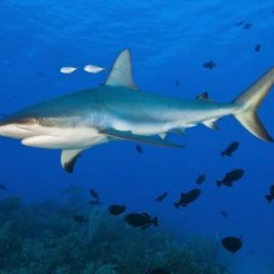輸入壁紙 カスタム壁紙 PHOTOWALL / Caribbean Reef Shark (e310369)