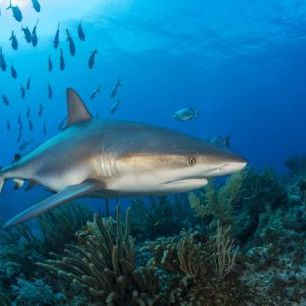 輸入壁紙 カスタム壁紙 PHOTOWALL / Caribbean Reef Shark (e310396)