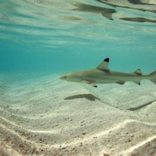 輸入壁紙 カスタム壁紙 PHOTOWALL / Blacktip Reef Shark (e310398)