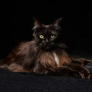 輸入壁紙 カスタム壁紙 PHOTOWALL / Maine Coon Cat Brown (e41192)
