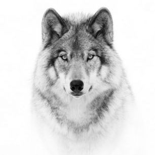 輸入壁紙 カスタム壁紙 PHOTOWALL / Portrait of a Timber Wolf (e311064)