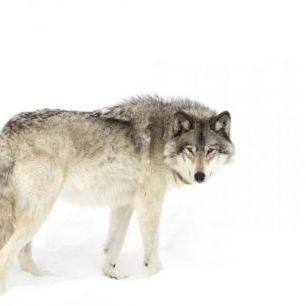 輸入壁紙 カスタム壁紙 PHOTOWALL / Canadian Timber Wolf Walking Through The Snow (e311129)