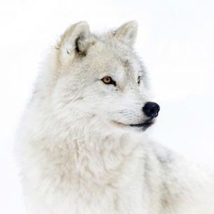 輸入壁紙 カスタム壁紙 PHOTOWALL / Portrait of an Arctic Wolf (e324475)